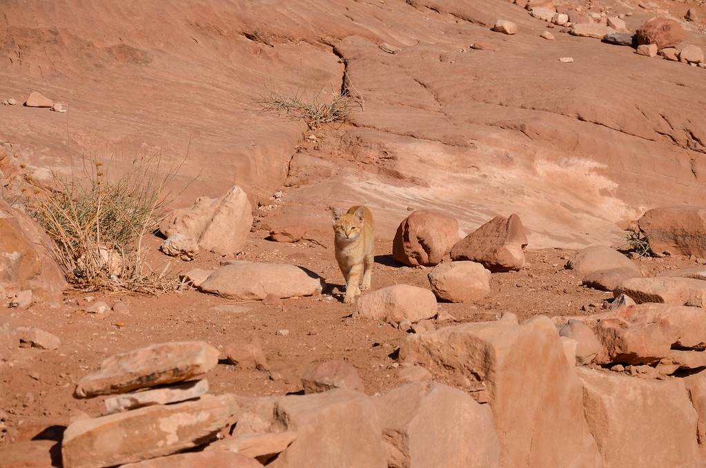 The one-eyed kitten near the High Place of Sacrifice in Petra following us.
