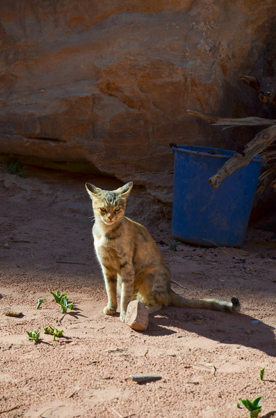 A cat at Wadi Farasa