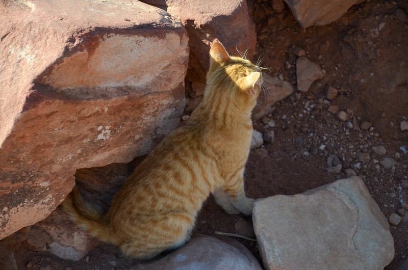 A Petra cat, near the High Place of Sacrifice.