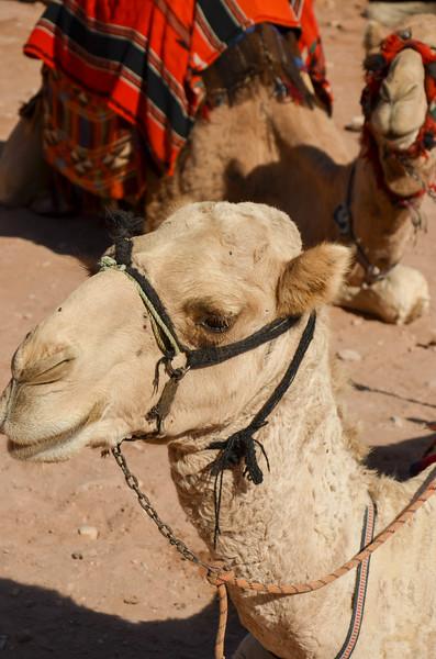 Camels, Petra