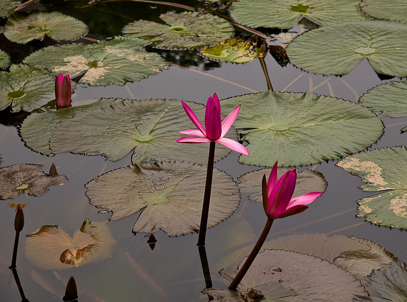 Water lilies in the Temple of Literature garden, Hanoi