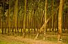 Rubber plantation Tay Ninh