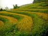 Dry rice farming, Lào Cai province highlands