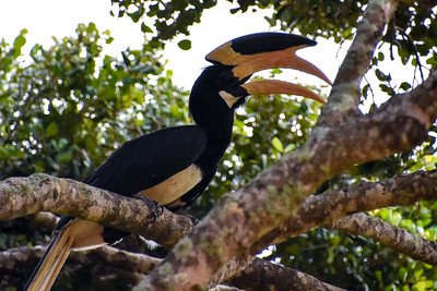 Hornbill in Sri Lanka