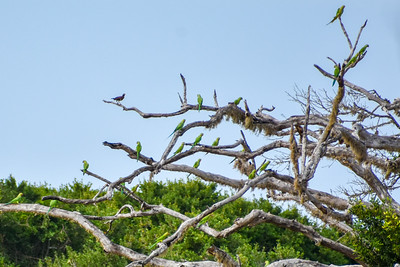 A flock of rose ringed parakeets.