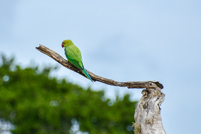 Rose ringed parakeet on a branch