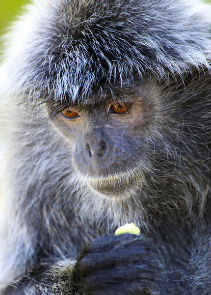 Silver Haired Monkey in Thought - Borneo