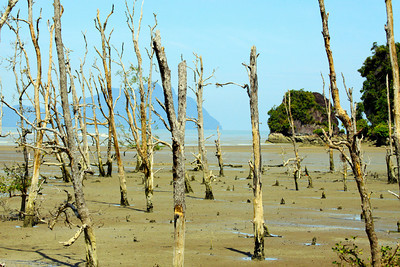Low Tide Forest - Borneo
