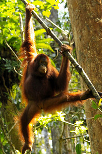 High Kicking - Borneo