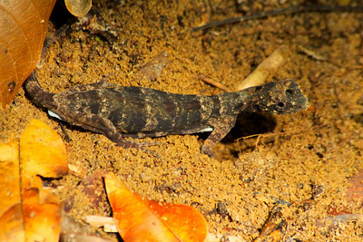 Very Rare, Ground Lizard - Borneo