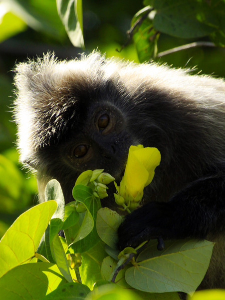 Silver Haired Monkey and His Flower -  Borneo