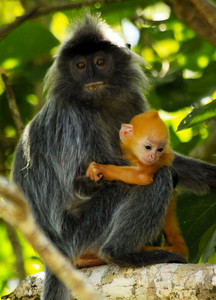 Silver Haired Monkey and Baby - Borneo