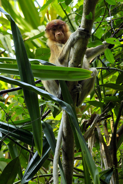 Proboscis Monkey from Afar - Borneo