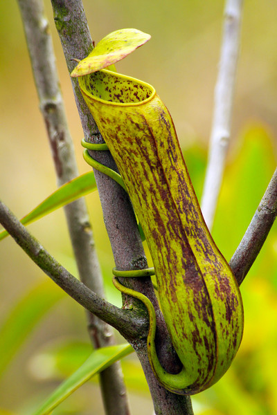 Smaller Pitcher Plant  - Thailand