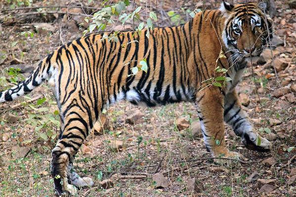 Khem Vilas Tiger Preserve Ranthambhore, India January 2010