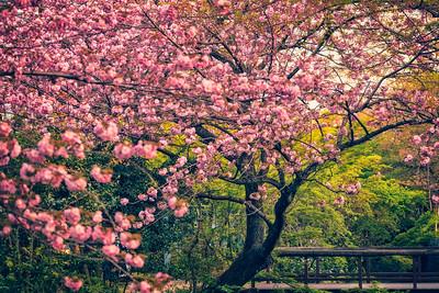 Sakura & The Path of the Philosopher