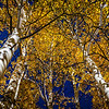 Aspen grove near the gate to Maroon Bells