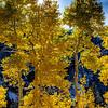 Looking through the Aspen trees on Maroon Creek Road