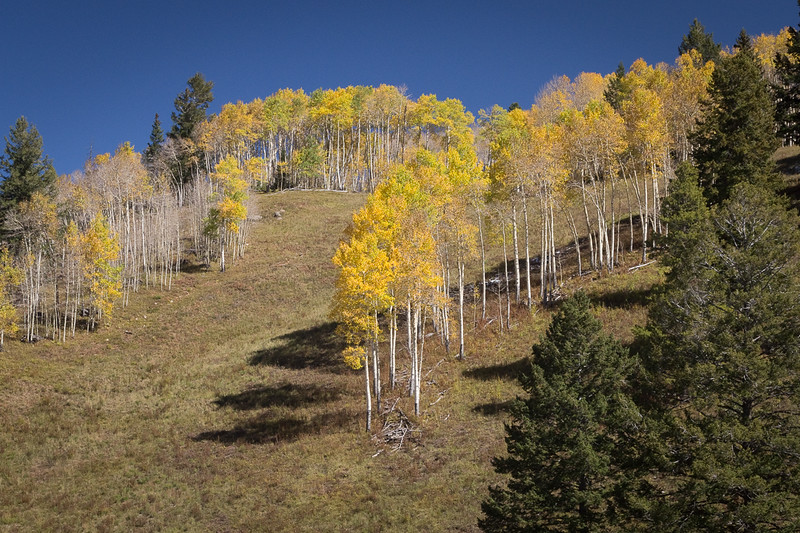 Aspens on the ridge