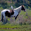 A Cattle Egret and a handy horse to land on...