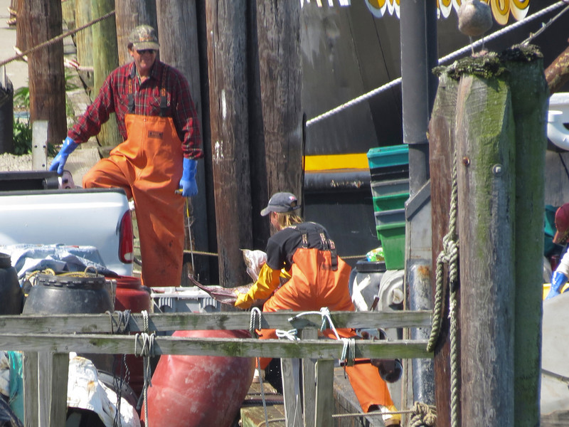 Unloading a catch at Chincoteague harbor...