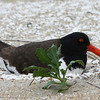 American Oystercatcher nesting on the beach.