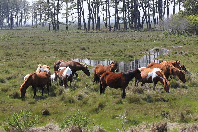 "The ""wild ponies"" or small horses of Assateague Island are quite famous and a great tourist attraction.  They are essentially in a wild state but the herd is controlled by a roundup and sale each year to prevent overpopulation and ecological problems."