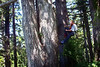 Climber using a rope system to head up a large tree.