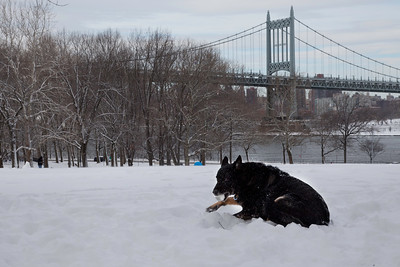 """Jarek""  a 10 years and 6 months old, German Shepherd, sitting in the Big Lawn, Astoria Park, after the snow storm Nemo."