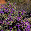 Violetts