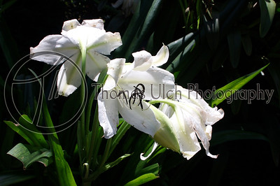 These are Lirios de la Madre, (Mother lilies) in the garden of Doña Eloisa. I love the detail in this photo. If you look closely you can see the dew on the underside of the petals. Concepcion de Ataco, Ahuachapan, El Salvador.