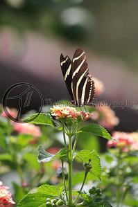 Zebra Butterfly. Villa Mercedes. Concepcion de Ataco, Ahuachapan, El Salvador..