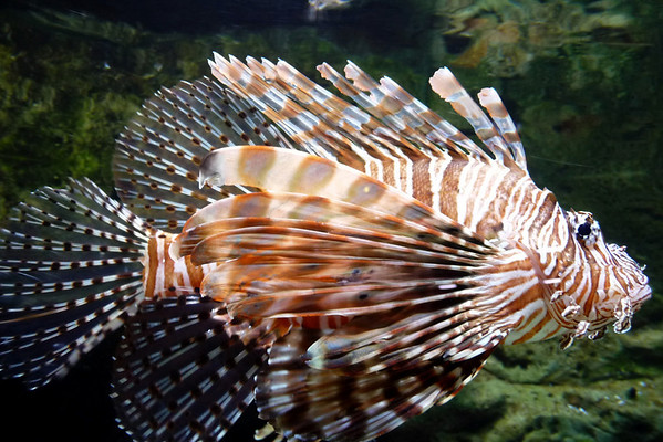 The red lionfish is native to the Philippines, Indonesia and other West Pasific coral reefs.