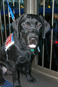 Banker-service dog in training.
