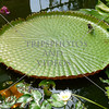Victoria Amazonica waterlily in Auckland, New Zealand.