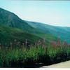 Wildflowers in Denali
