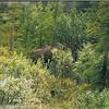 Moose in Denali