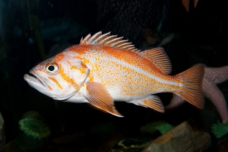 Georgia Aquarium - Pacific Ocean Perch (also called Pacific Rockfish)