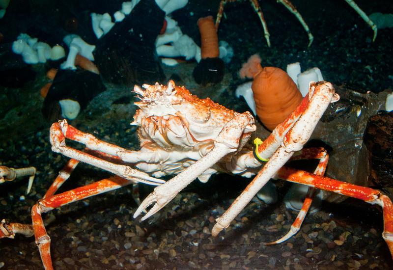 Georgia Aquarium - Giant Japanese spider crab