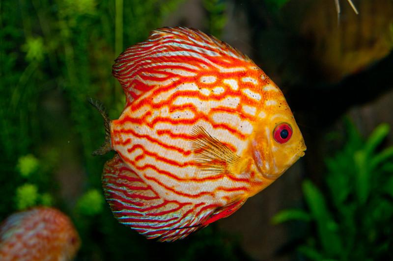 Georgia Aquarium - Discus Fish (South America)