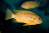 Georgia Aquarium -  African Cichlid