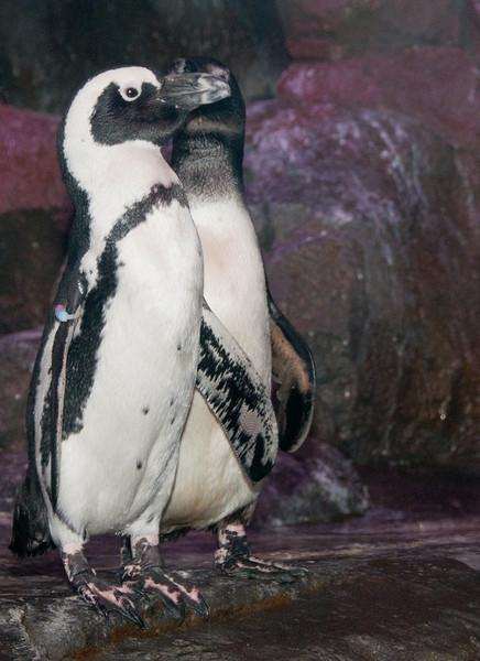 Georgia Aquarium - African Penguin