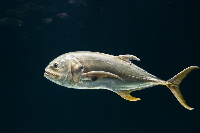 Georgia Aquarium - Jack Crevalle