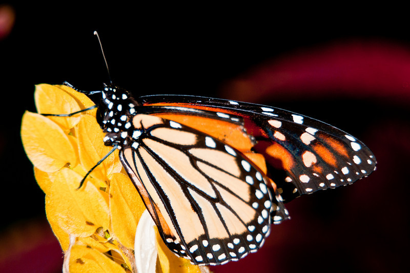 Airlie Gardens - Monarch Butterfly