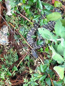 Carpet python that lived outside our tent for three days while in Lamington. We fondly referred to him as Charlie. He was a good snake.