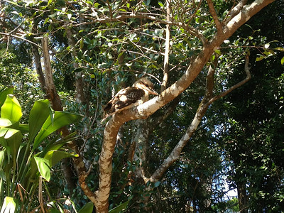A laughing kookaburra! Incredibly cute birds