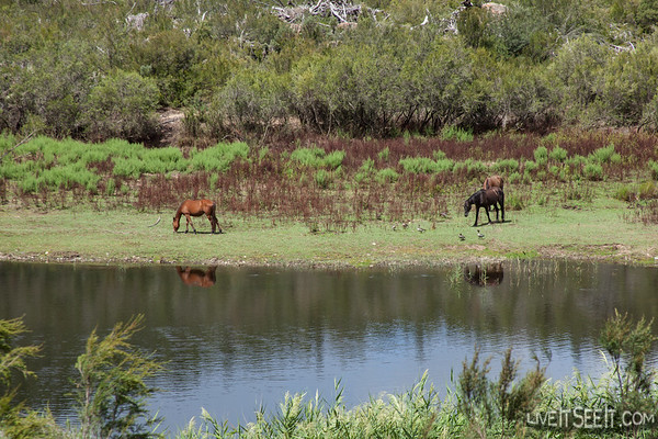 Wild Brumbies on the Snowy River