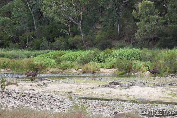 Emus on the Snowy River
