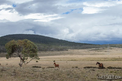 Wild Brumbies at Long Plain