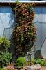 Trumpet vine at Ladybird Wildflower Center